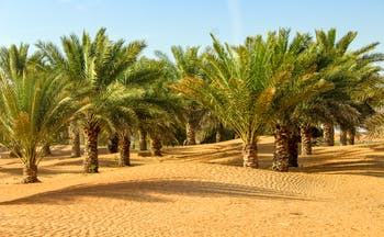 Oasis of palm trees in desert in Dubai