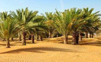 Oasis of palm trees in desert in Dubai