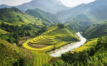 Rice fields in Vietnam, green and yellow fields, trees and mountains in background
