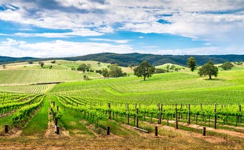 Barossa wine valley, south Australia, lush vineyards, blue skies, nature