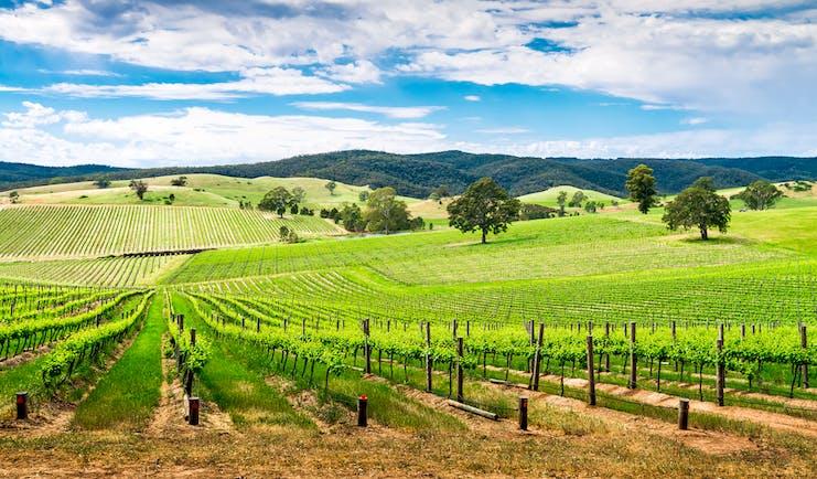 Barossa wine valley, south Australia, lush vineyards, blue skies, nature