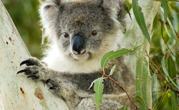Koala bear in a eucalyptus tree in Australia