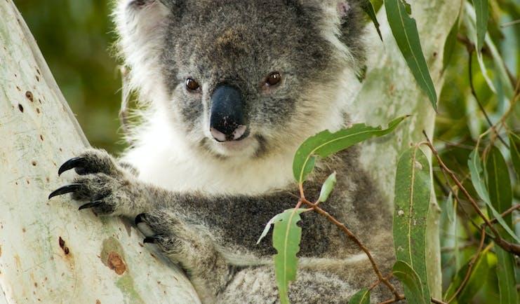 Koala bear in a eucalyptus tree in Australia
