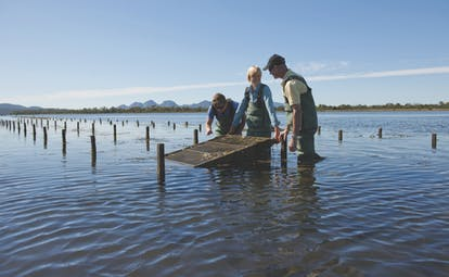 Saffire Freycinet Tasmania nature oysters two men and a women wearing waders in water collecting oysters