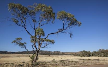Yarra Valley, Victoria, eucalyptus tree, rural scene