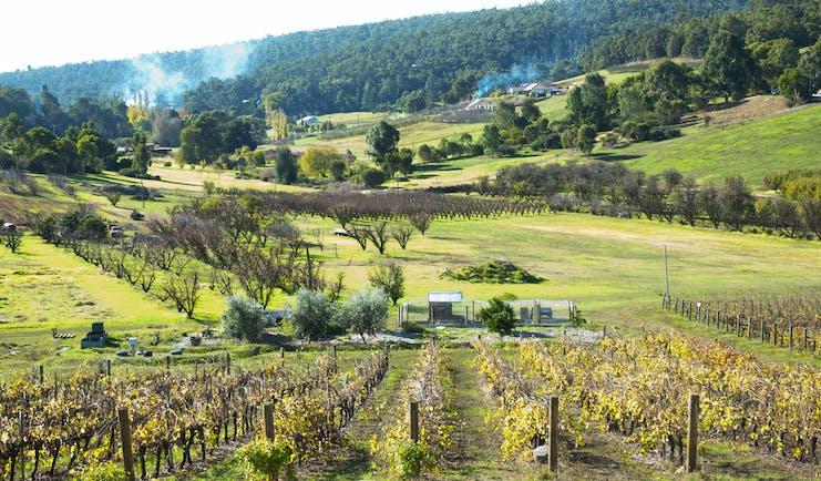 Bickley vineyard, western Australia, vine trees, rural scenic background