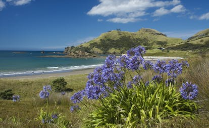 Medlands Beach on Great Barrier Island in Auckland, purple flowers, sand, sea, rugged scenery