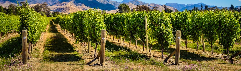 Marlborough Wine Country vineyards, vine trees, mountains in background