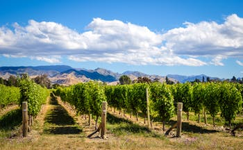 Marlborough Wine Country vineyards, vine trees, mountains in background