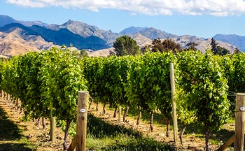 Rows of green vines with mountains of purple shade behind