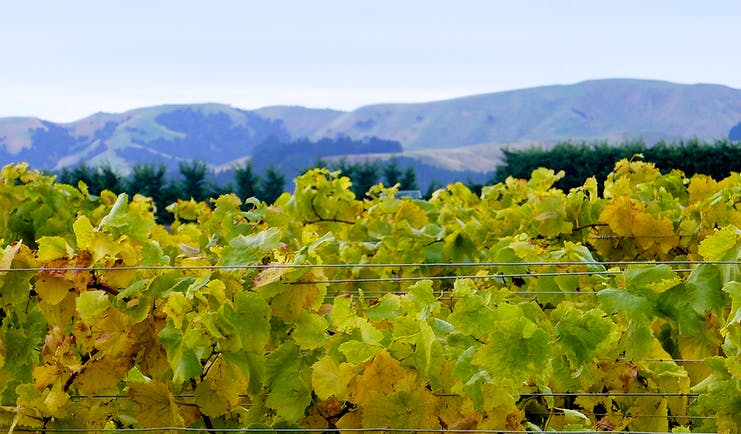 Martinborough vineyard, vine trees, grapes growing, mountains in background