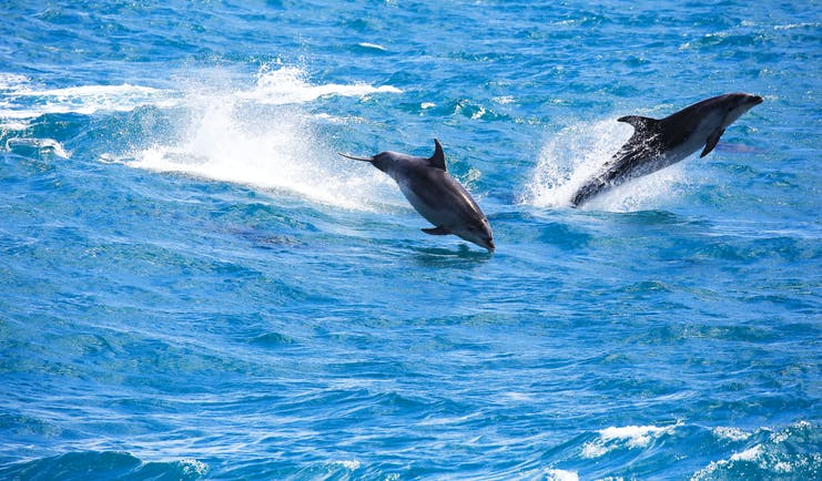 Dolphins leaping in the waves near the Bay of Islands