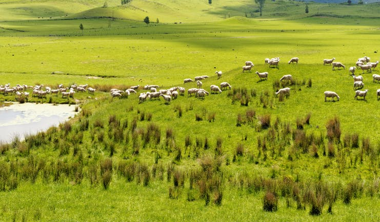 Rolling pastures and fields with sheep grazing in Wairarapa