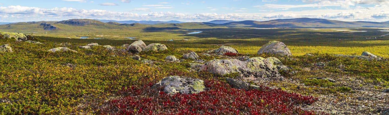 Tundra scene with grasses and rock at Kiruna
