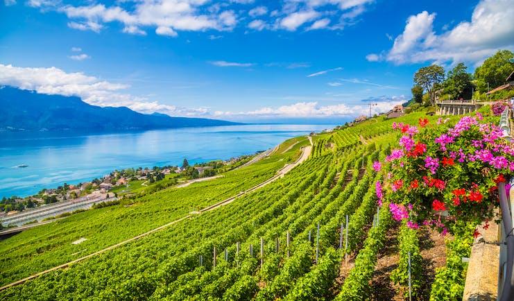 Vineyards overlooking Lake Geneva, pink flowers, town on lake shore, mountains in background