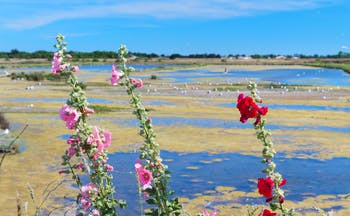 Pink and red tall hollyhocks on sandy marshes on the Ile de Re
