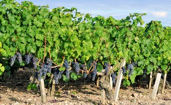 Green vines with black grapes in the Medoc region