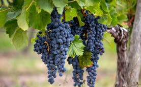 Black Merlot grapes on a vine at St Emilion