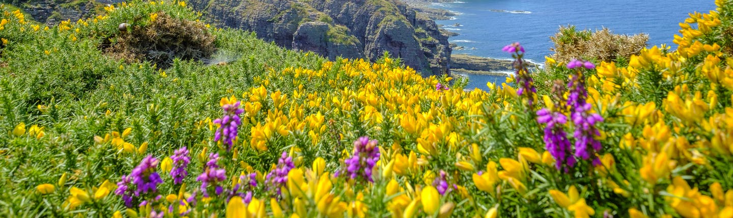 Lighthouse on cliffs with yellow gorse and violet heather in Brittany