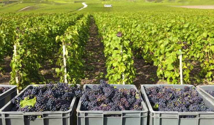 Grapes picked in crates in a Burgundy vineyard