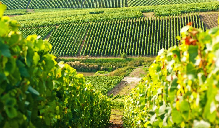 Rows of Champagne vines