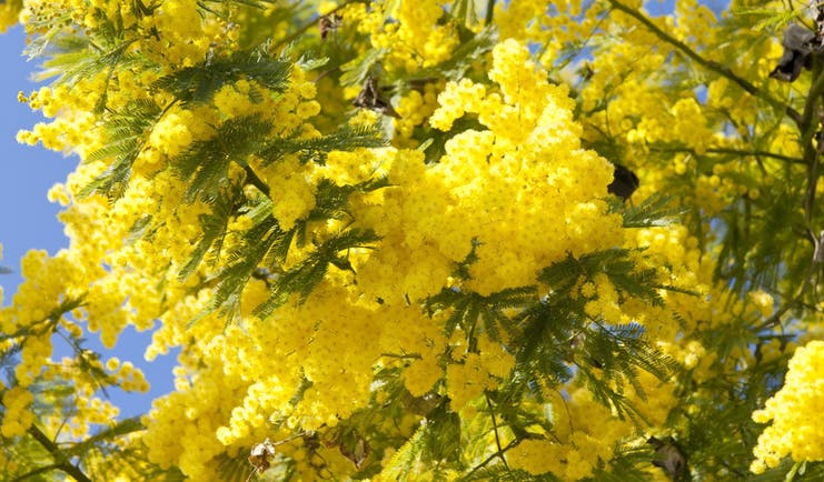 Yellow mimosa flowers in February sunshine on the French Riviera