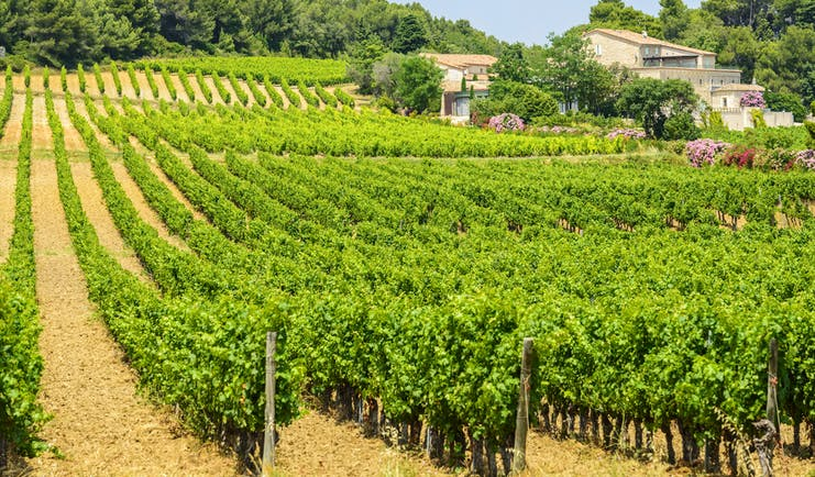 Rows of vines with farmhouse in the Herault region of Languedoc Roussillon