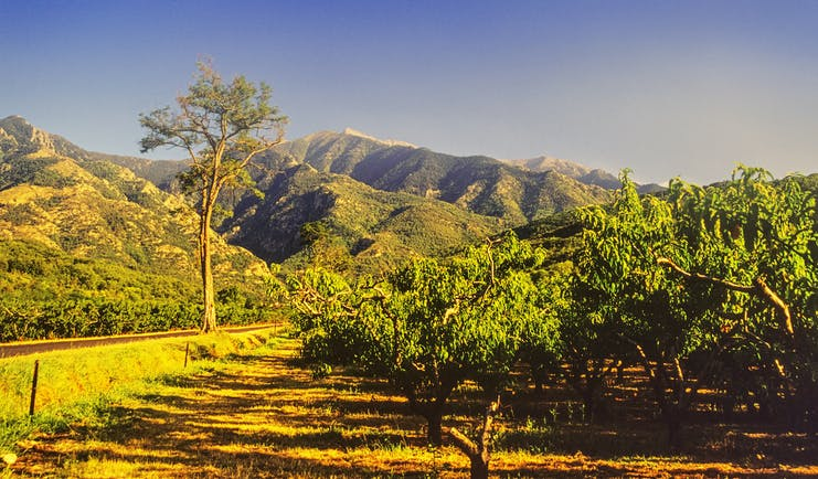 Orchards and vines with Mount Canigou in the distance in Languedoc Roussillon