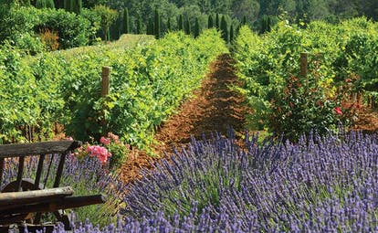 Chateau de Berne Provence vineyard lavender plants pink flowers old wooden wheelbarrow