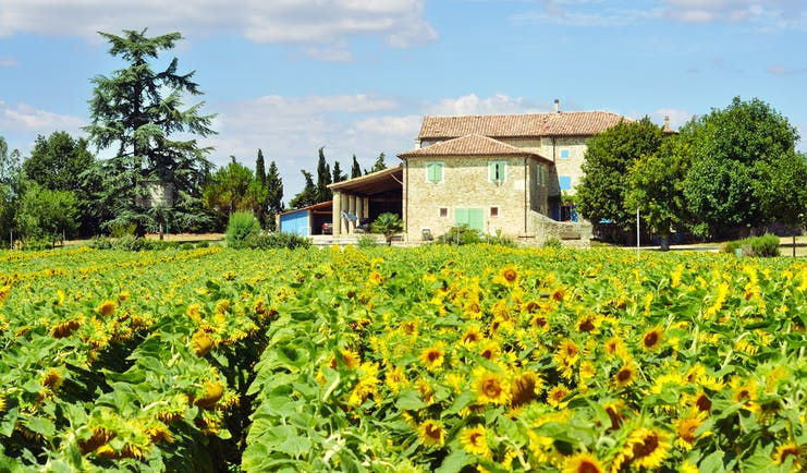 sunflowers in field with farmhouse with green shutters in provence