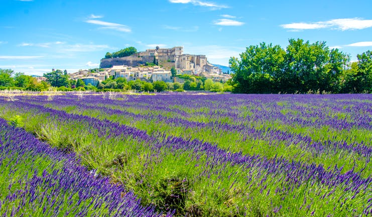 lavender beds in summer bloom with village behind in provence