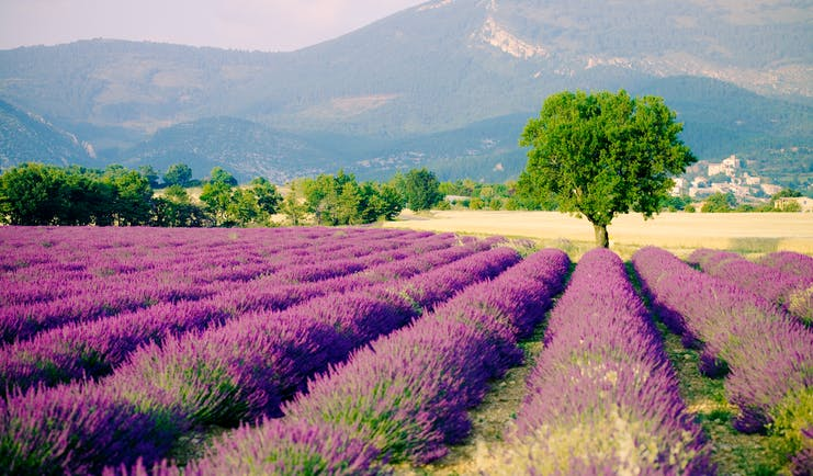 Rows of purple lavender fields with hills in background in Provence