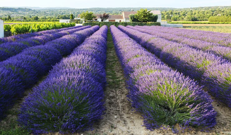 Lavender beds of deep purple colour with blue sky in Provence