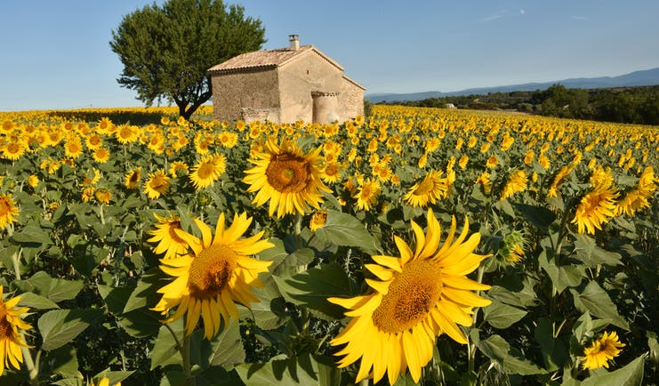 Field of yellow sunflowers with house in middle of it in Provence