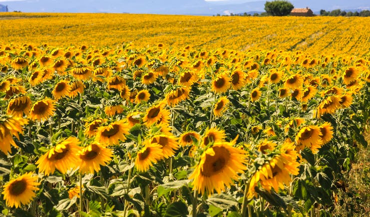 Yellow sunflowers open in summer field in Provence