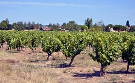 Vines with leaves on plants in dry field in the Gaillac region of the Tarn