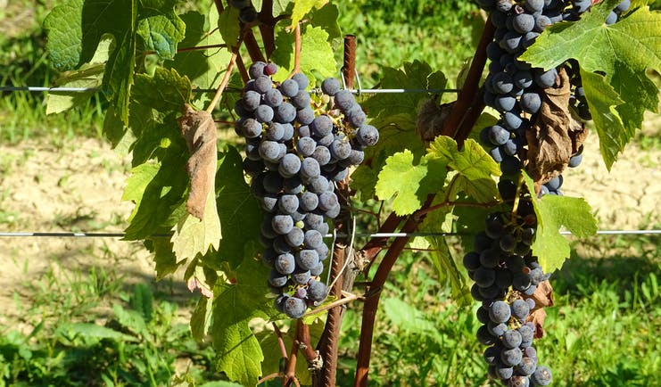 Black grapes on Nebbiolo vines