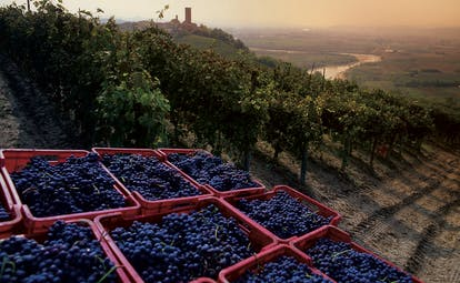 Black blue grapes in red crates at sunset after having been picked in Piemonte