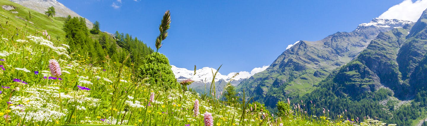 Mountain pastures with coloured flowers and grey mountains with bits of snow on top