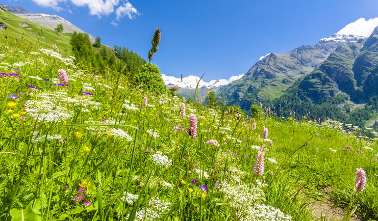 Wild spring flowers of white and pink in fields in the mountainous Aosta Valley in the Italian Alps