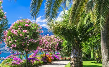 Pink trees and palm trees in garden on Lake Maggiore promenade