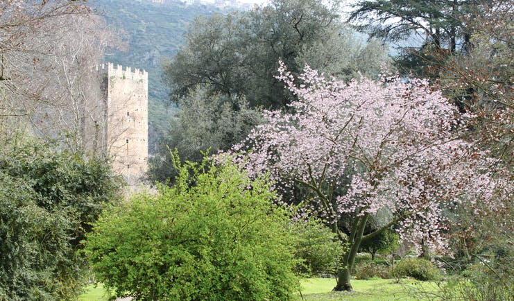 Pink blossom on tree with ruins of a tower in gardens behind