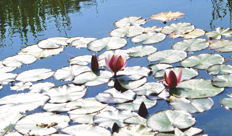 Flat leaves of water lilies on top of pond with pink flowers