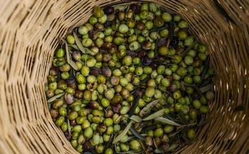 Basket full of green and black Italian olives