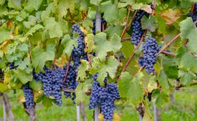 Bunches of purple grapes with vine leaves and stems in Piemonte
