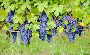 Bunches of purple grapes with vine leaves in Piemonte
