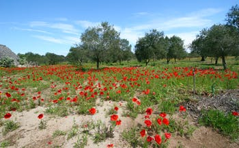 Field of poppies with olive trees in Puglia