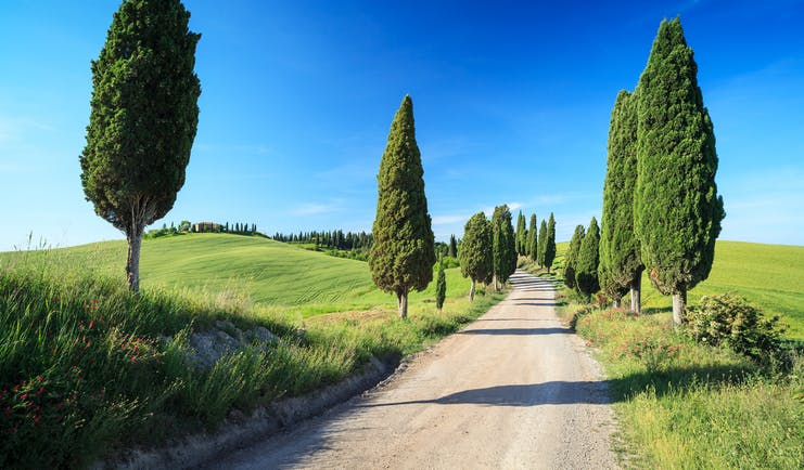 Scattered tall cypress trees lining track through fields in Tuscany
