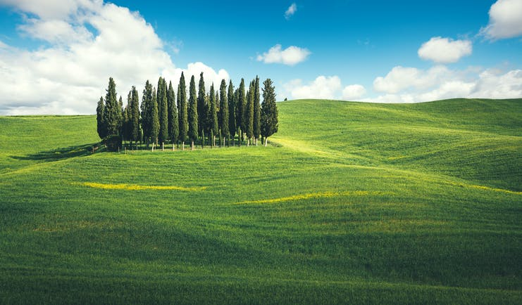 Cluster of tall cypress trees together in middle of green rolling Tuscan fields