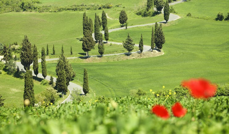 Winding road through green fields lined with cypress trees in Tuscany and red poppy